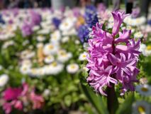Hyacinth on a field of flowers. Hyacinth on a field of spring flowers. Bokeh effect royalty free stock photos