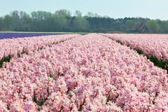 Hyacinth field in Holland Royalty Free Stock Photos