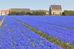 Hyacinth field in Holland. Horizontal shot Royalty Free Stock Image