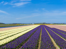 Hyacinth Field Holland. Netherlands, South Holland, Lisse. Hyacinths Hyacinthus flowers bloom in a bulb field in spring royalty free stock images