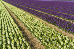 Hyacinth field. In the Netherlands Royalty Free Stock Photos