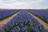 Hyacinth field in the Netherlands. Tulip field in the Netherlands in May is a local attraction for the tourists Stock Image