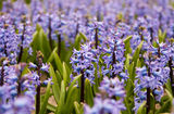 Hyacinth field in the Netherlands. Tulip field in the Netherlands in May is a local attraction for the tourists Royalty Free Stock Images