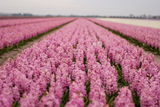 Hyacinth field in the Netherlands. Tulip field in the Netherlands in May is a local attraction for the tourists Stock Photo
