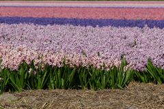 Hyacinth field pink purple, Holland, the Netherlands. Hyacinth field in Egmond, spring time in Holland. Colors in the fields royalty free stock photo