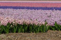 Hyacinth field pink purple, Holland, the Netherlands royalty free stock photo