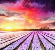 Hyacinth field at sunset. Netherlands. Beauty world Holland Royalty Free Stock Image