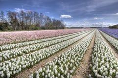Hyacinth Fields Stock Photography