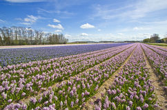 Hyacinth Fields Royalty Free Stock Image