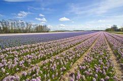Hyacinth Fields Royalty Free Stock Image