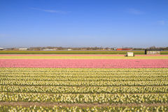 Hyacinth fields in bloom in Holland Royalty Free Stock Photography