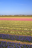 Hyacinth fields in bloom in Holland Royalty Free Stock Photos