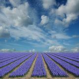 Hyacinth fields in holland Royalty Free Stock Photo