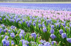 Hyacinth fields in Holland Royalty Free Stock Photos
