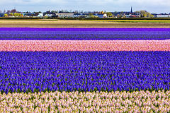 Hyacinth Fields Keukenhoff Lisse Holland Netherlands. Pink Blue White Hyacinth Fields Keukenhoff Lisse Holland Netherlands. Called the Garden of Europe royalty free stock photo