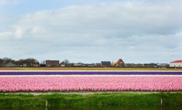 Hyacinth fields in the Netherlands Royalty Free Stock Photos
