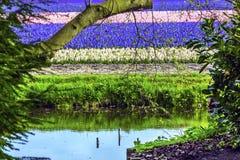 Hyacinth Fields River Reflection Keukenhoff Lisse Holland Netherlands immagini stock