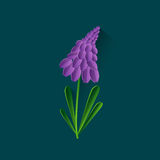 Hyacinth First Spring Flower Isolated Image stock