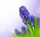 Hyacinth. Floral background from spring flowers Hyacinth Royalty Free Stock Image