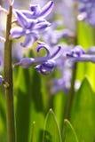 Hyacinth flower Royalty Free Stock Photography