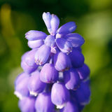 Hyacinth flower Stock Image