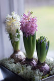 Hyacinth flower arrangement on the windowsill Royalty Free Stock Photography