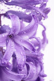 Hyacinth flower  background Stock Image