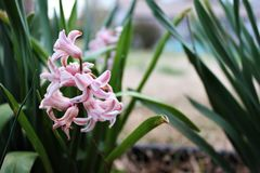 Hyacinth Flower Beautiful rosa fotografia stock libera da diritti