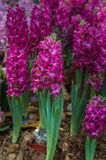 Hyacinth flower are blooming in the garden stock images