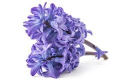 Hyacinth flower royalty free stock image