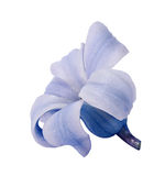 Hyacinth flower buds on the white background Stock Image