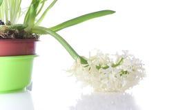 Hyacinth Flower Bulb Blooming bianco su 4k isolato bianco archivi video