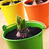 Hyacinth flower bulb in the  small green bucket Royalty Free Stock Photo