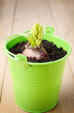 Hyacinth flower bulb in the  small green bucket Royalty Free Stock Images
