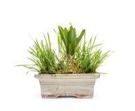 Hyacinth flower bulbs Stock Photography