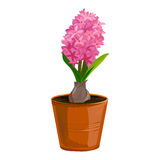 Hyacinth flower in a clay pot Royalty Free Stock Images