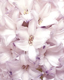 Hyacinth flower. Close up image Stock Photography