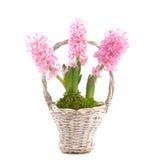 Hyacinth Stock Photo