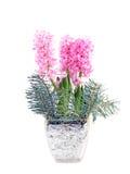Hyacinth Royalty Free Stock Image