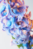 Hyacinth flower with drops of water Royalty Free Stock Image