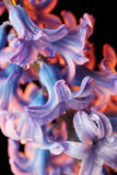 Hyacinth flower with drops of water Stock Images