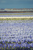 Hyacinth. flower fields in Netherlands. Royalty Free Stock Photography
