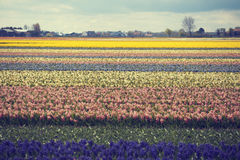 Hyacinth. flower fields in Netherlands. Royalty Free Stock Image