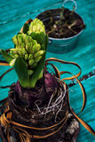 Hyacinth flower in a flowerpot Stock Images