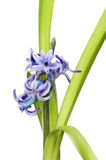 Hyacinth flower and foliage. Blue Hyacinth flowers and foliage isolated against white Royalty Free Stock Photos