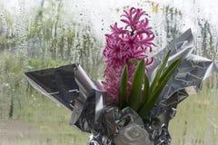 Hyacinth Flower Front rosa di vetro glassato Immagini Stock