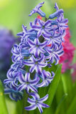 Hyacinth flower in garden Stock Image
