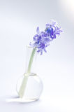 Hyacinth flower in glass flask.  Royalty Free Stock Image