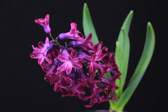 Hyacinth flower, isolated on black backgroung Stock Image