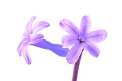 Hyacinth flower isolated on white Stock Image